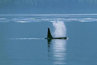 Orca  Orcinus Orca  Near Telegraph Cove Art Print by Carl Bruemmer