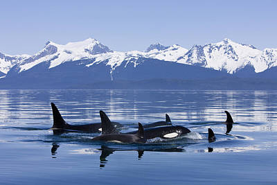 Orca Surface In Lynn Canal Near Juneau Art Print by John Hyde