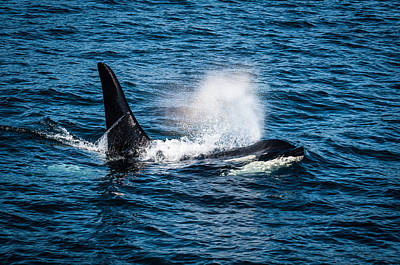 Orca Whale On The Move Art Print