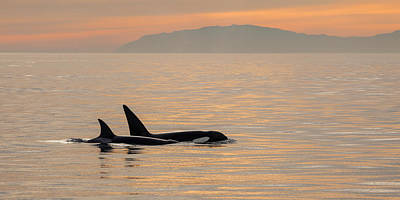 Orcas Off The California Coast Art Print