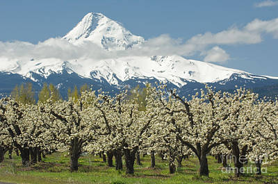 Photograph - Orchard And Mount Hood Oregon by John Shaw