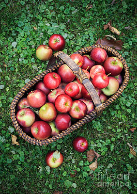 Sin Photograph - Orchard Fresh Picked Apples by Edward Fielding