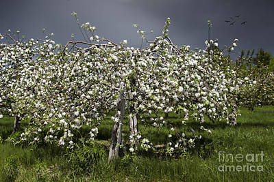 Photograph - Orchard by Karin Pinkham