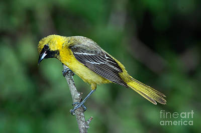 Orchard Oriole Icterus Spurius Juvenile Art Print by Anthony Mercieca