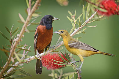 Orchard Oriole Pair Art Print by Bonnie Barry