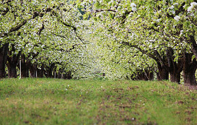 Art Print featuring the photograph Orchard by Patricia Babbitt