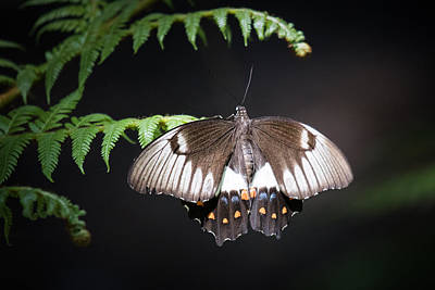 Photograph - Orchard Swallowtail by Brad Grove
