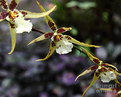 Photograph - Orchid 1 by Theresa Ramos-DuVon