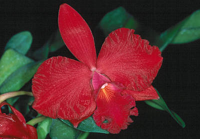 Orchid 12 Art Print