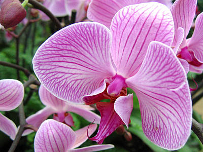 Photograph - Orchid 2 by Helene U Taylor
