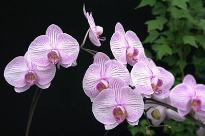 Photograph - Orchid 23 by Sheila Byers