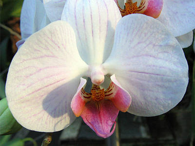 Photograph - Orchid 3 by Helene U Taylor