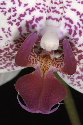 Photograph - Orchid 474 by Wesley Elsberry