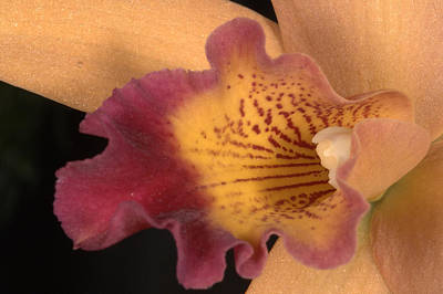 Photograph - Orchid 479 by Wesley Elsberry