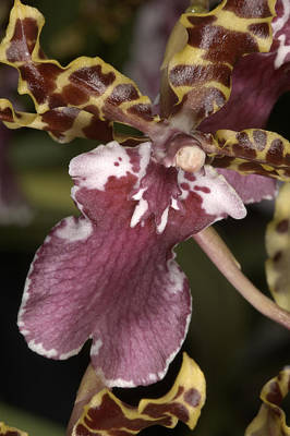 Photograph - Orchid 482 by Wesley Elsberry
