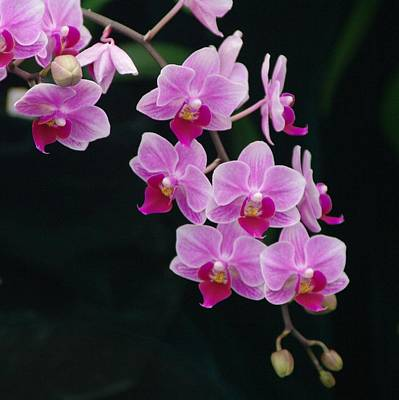 Photograph - Orchid 5 by Sheila Byers