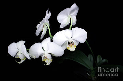 Photograph - Orchid by Balanced Art