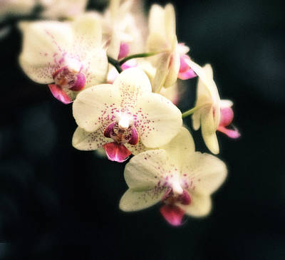Photograph - Orchid Blossom by Jessica Jenney