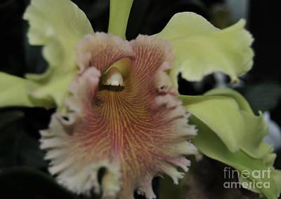 Blc Photograph - Orchid Brassilaeliocattleya Ojai  Verte by Terri Winkler