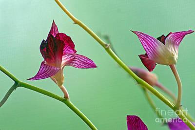 Photograph - Orchid Buds by Karen Adams