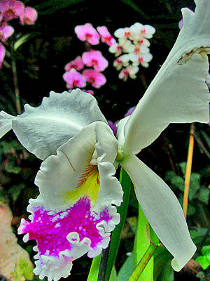 Orchid. Canary Islands. Art Print