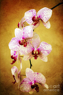Photograph - Orchid Cascade by Andee Design