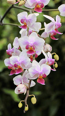 Photograph - Orchid Cascade by Harold Rau