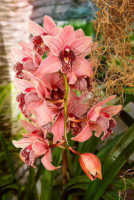 Photograph - Orchid - Cymbidium - Vivien Hainsworth X Trinket by Mike Savad