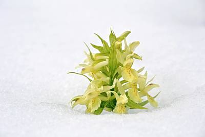Piano Photograph - Orchid (dactylorhiza Sambucina) Flowers by Bob Gibbons