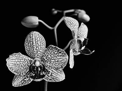 Photograph - Orchid by Davorin Mance