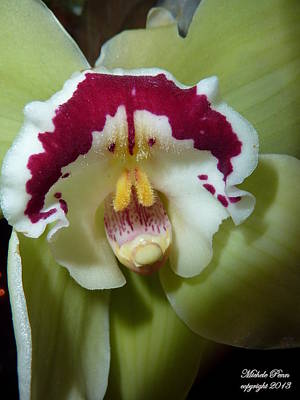 Photograph - Orchid Dream by Michele Penn