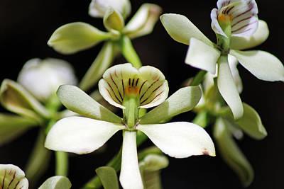 Photograph - Orchid Encyclia Fragrans by Tony Murtagh
