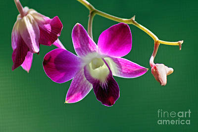 Orchid Flower Art Print by Karen Adams