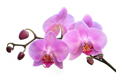 Orchid Flowers - Pink Art Print by Natalie Kinnear