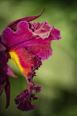 Eureka Springs Photograph - Orchid Frills by Carolyn Marshall