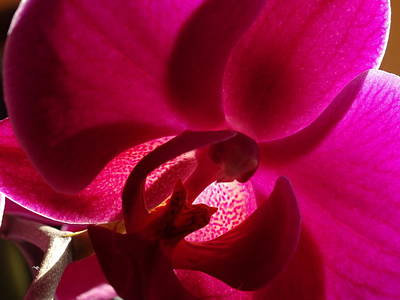 Photograph - Orchid From My Valentine 2 by Amanda Balough