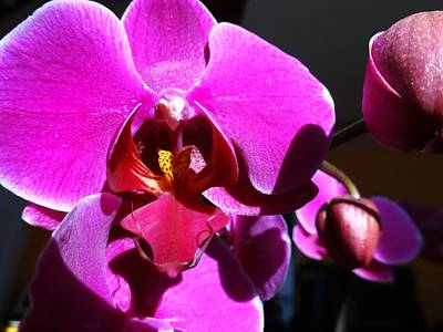 Photograph - Orchid From My Valentine 3 by Amanda Balough