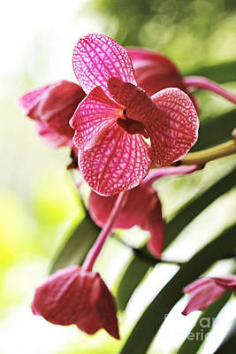 Photograph - Orchid II by Pamela Gail Torres