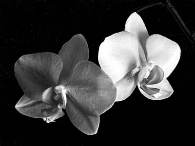 Photograph - orchid in Black and white by Steve Karol
