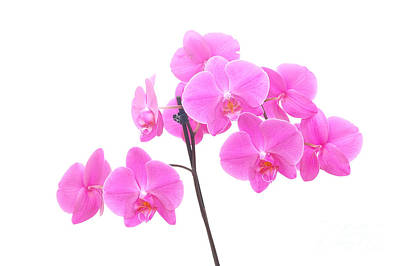 Purple Photograph - Orchid Isolated by Michal Bednarek