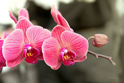 Photograph - Orchid - It Takes Two To Tango by Mike Savad