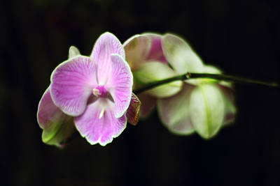 Photograph - Orchid by Jessica Jenney