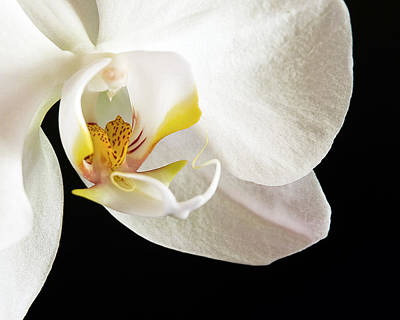 Photograph - Moth Orchid  by Ginger Wakem