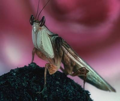 Orchid Praying Mantis Photograph - Orchid Male Mantis  Hymenop  Portrait  #7 Of 9 by Leslie Crotty