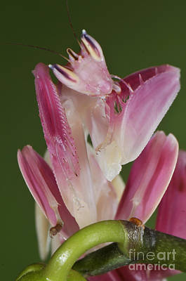 Photograph - Orchid Mantis by Francesco Tomasinelli