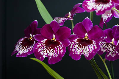Art Print featuring the photograph Orchid Miltonia by Lana Enderle