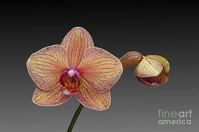 Photograph - orchid open and closed flower Phalaenopsis by Nick Jene