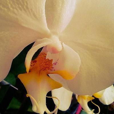 Orchids Photograph - #orchid, #orchids, #flowers , #garden by Melissa Hardecker