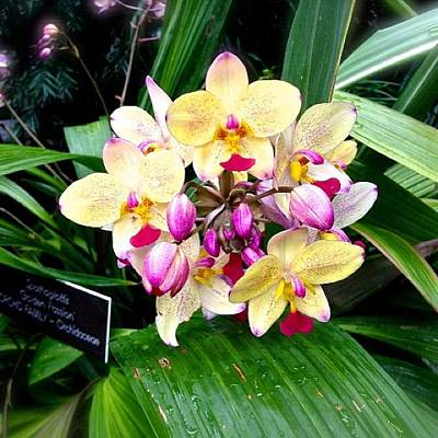 Orchids Photograph - #orchid #orchids #purple #yellow by Becca Sourpunch