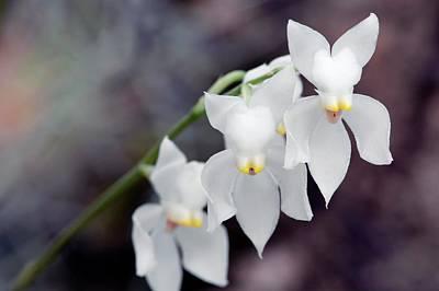 Orchid (osmoglossum Pulchellum) Art Print by Sam K Tran/science Photo Library